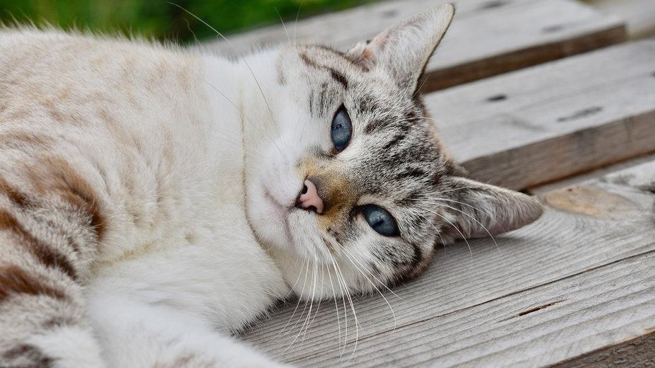 Zbyt duża ilość nagromadzonej sierści w przewodzie pokarmowym kota może być niebezpieczna dla jego zdrowia - JACLOU-DL/pixabay.com