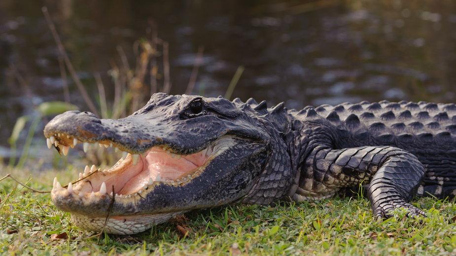 W brzuchu aligatora znaleziono ludzkie szczątki