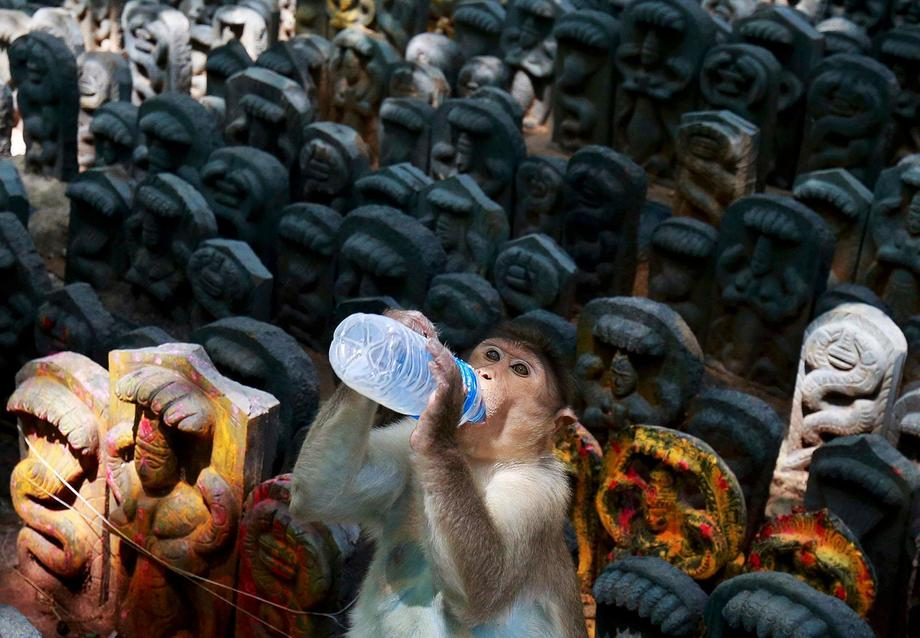 A bonnet macaque sits on consecrated idols of snakes as it drinks milk offered by a devotee during t