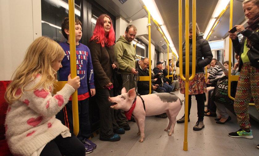 świnka która mieszka w mieście