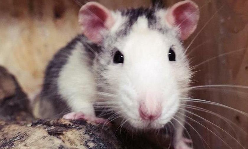 Porzucony szczurek błąkał się po Przemyślu