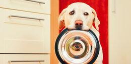 Twój labrador też jest wiecznie głodny? Naukowcy wiedzą dlaczego