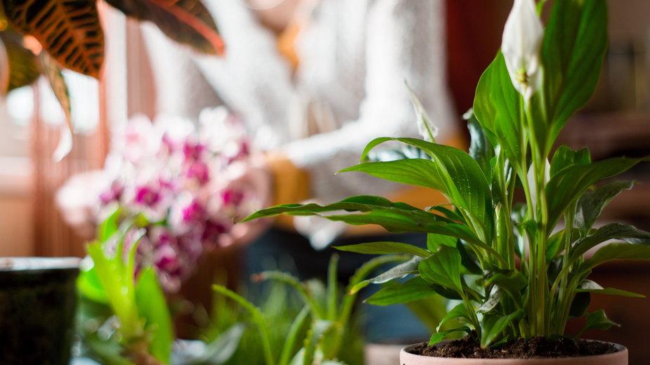 Rośliny doniczkowe oczyszczają powietrze w domu - deniskarpenkov/stock.adobe.com