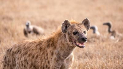 KWS issues statement after Hyena mauls 7 in Kwale