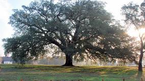 Najpiękniejsze drzewo Europy rośnie w Portugalii