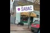 Divlja svinja u Šapcu