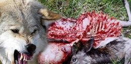 Wilki atakują na pograniczu. Zabijają muflony!