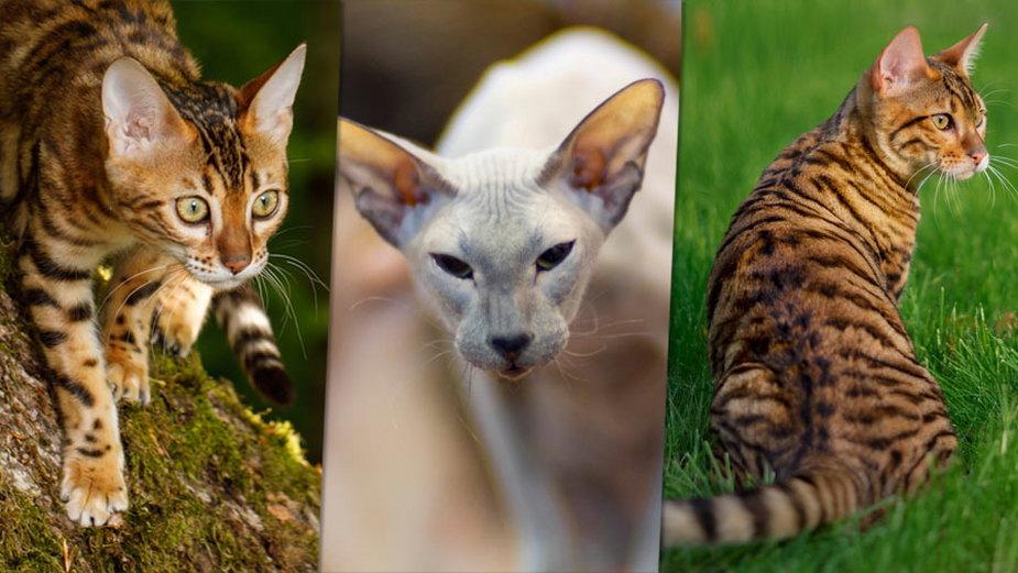 Najdroższe koty świata. Rekordziści kosztują tysiące... dolarów!