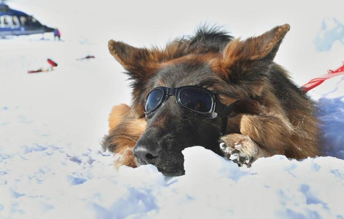 Avalanche Dog Gioia with Sunglasses