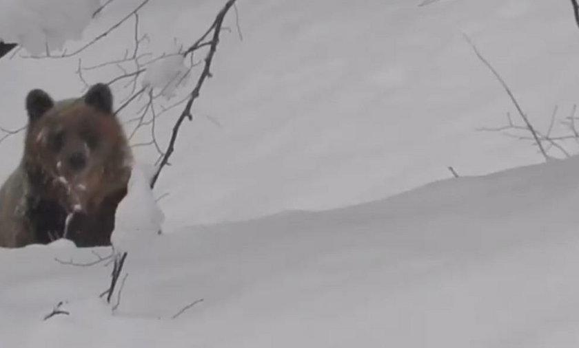 Leśniczy spotkał niedźwiedzie