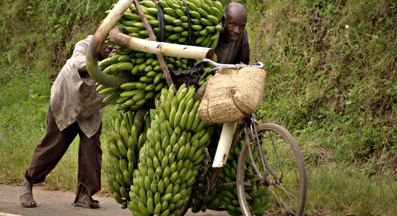 A trader pushing a bicycle full of bananas to the market. (businessnet)
