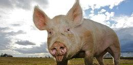 Świnia pogryzła właścicielkę. Kobieta zmarła