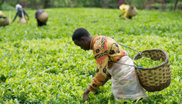 Tea Farming in Kenya