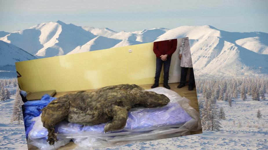 Rozmrożono nosorożca włochatego, który przebywał ok. 25-40 tys. lat w wiecznej zmarzlinie na Syberii
