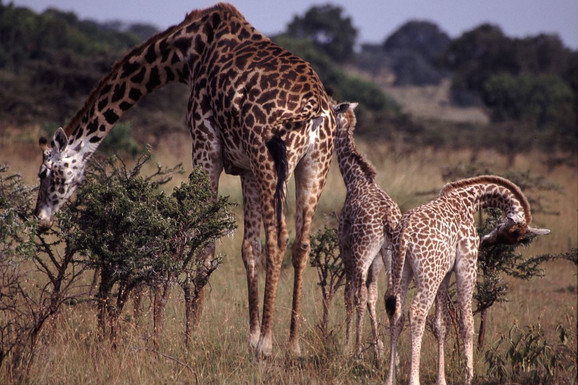 Žirafe