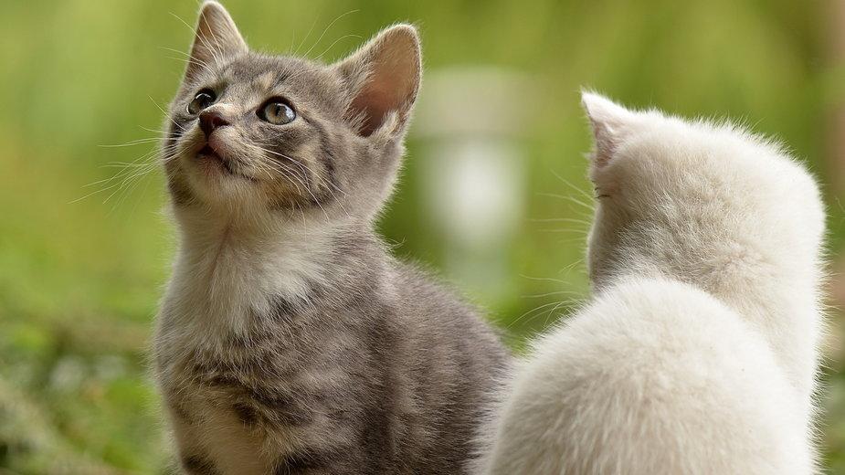 U młodego kota czasem trudno rozpoznać płeć - susannp4/pixabay.com