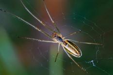 rastegljivi pauk