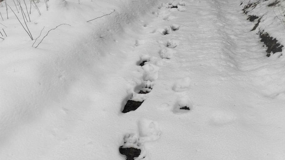 Ślady niedźwiedzia na śniegu sfotografowane przez Straż Graniczną