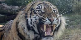 Tygrys odgryzł rocznemu dziecku palec! Straszny wypadek w ogrodzie zoologicznym