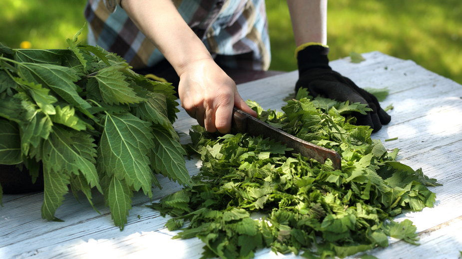 Liście pokrzywy należy odpowiednio przygotować przed wykonaniem z nich nawozu - Robert Przybysz/stock.adobe.com