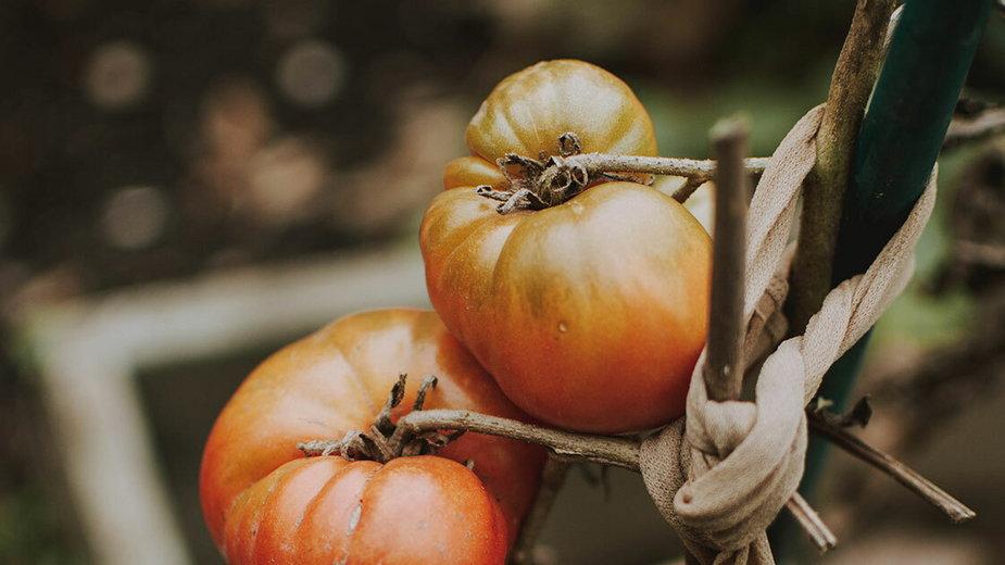 Co zrobić, gdy pomidorom w ogrodzie opadają liście?