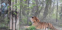 Pijani dręczyli tygrysa. Sprawca sam zgłosił się na policję