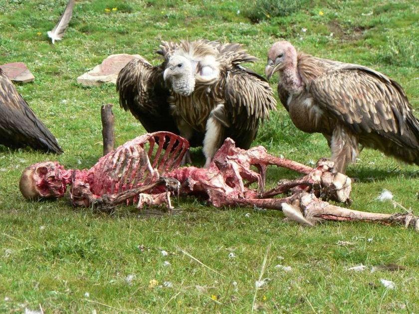 W to ciężko uwierzyć! Ale w Tybecie zamiast grzebać ludzi w ziemi, oddają ciała zmarłych sępom na pożarcie
