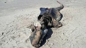 Tajemniczy potwór wyrzucony na brzeg morza w Walii