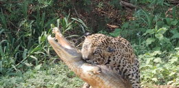 Jaguar upolował krokodyla