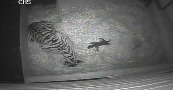 Posle 17 godina rodio se tigar u londonskom zoo vrtu