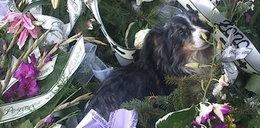 Pies zamieszkał przy grobie swojego pana