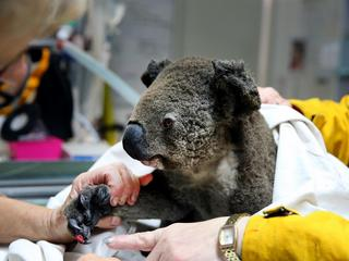 *PREMIUM-EXCLUSIVE* Rescued Koala's from the Port Macquarie bushfires