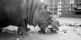 Zmarł Hipolit, najstarszy hipopotam świata