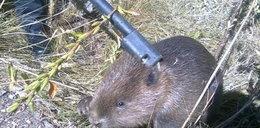 Strażnicy uratowali bobra. Zwierzę wpadło do studzienki