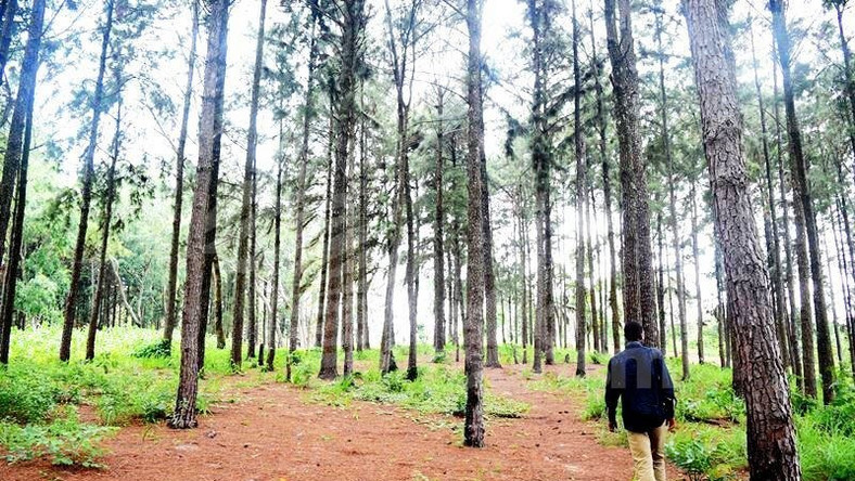 Ngwo Pine Forest An embodiment of Peacefulness - Pulse Nigeria