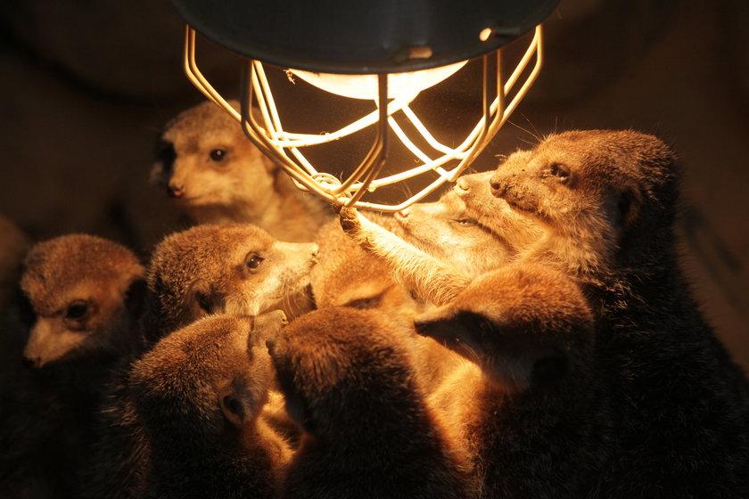 Surykatki ogrzewały się przy lampie