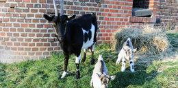 Koza Kropka urodziła bliźniaki! FOTO