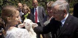 Kaczyński z owieczką. Foto