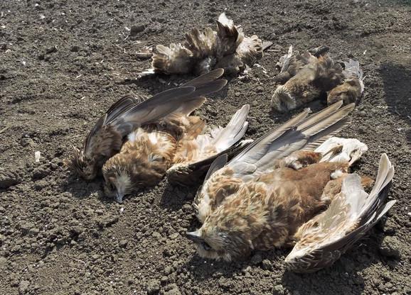 uginule ptice