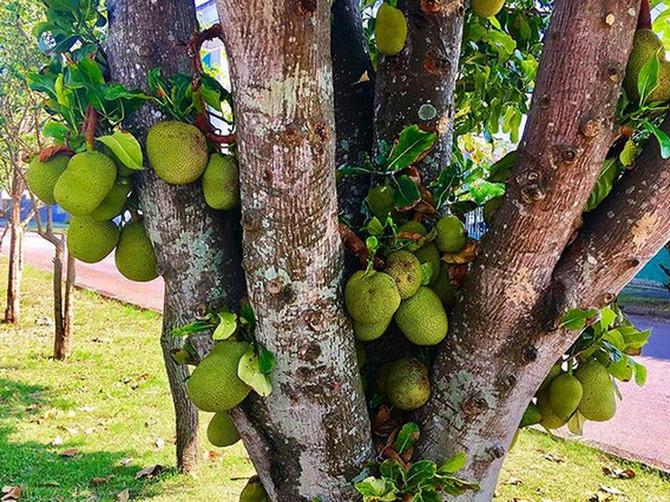 NIJE ŠALA: Postoji voće sa ukusom SVINJETINE, čiji jedan plod može da nahrani čitavu porodicu