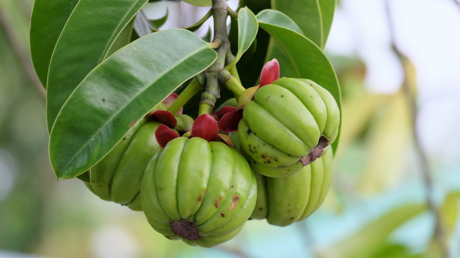 Owoce drzewa garcinia cambogia