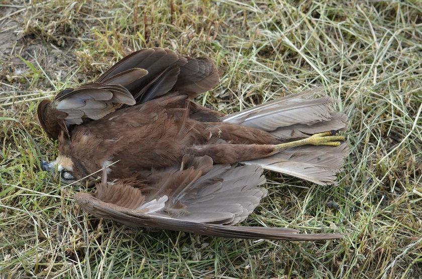 Krotoszyn: ptaki pod ochroną znalezione martwe. Zostały otrute?