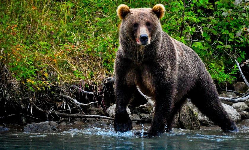 Słowacja: przez niedźwiedzie w Tatrach wprowadzą stan wyjątkowy?