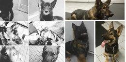 Policyjne psy zginęły w straszliwych męczarniach. Tak wyglądają ich następcy
