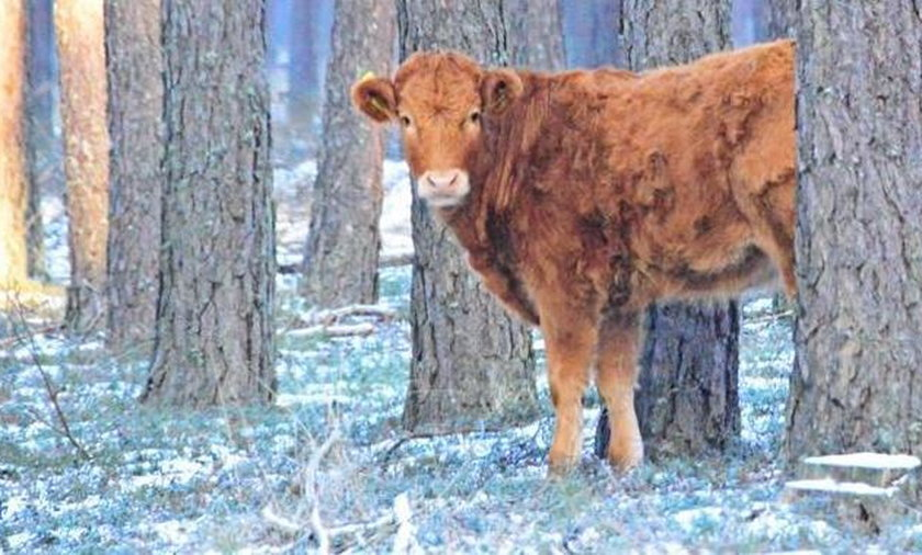Ta krowa wybrała wolność. Od miesiąca żyje w lesie