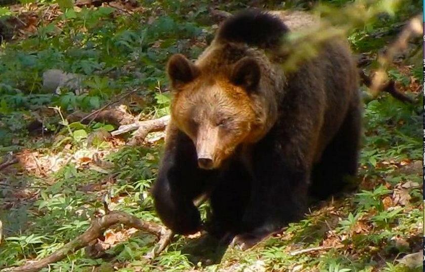 Groźne spotkanie z niedźwiedziem