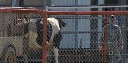 Szokująca prowokacja Faktu: Mogliśmy sprzedać zdychające krowy!