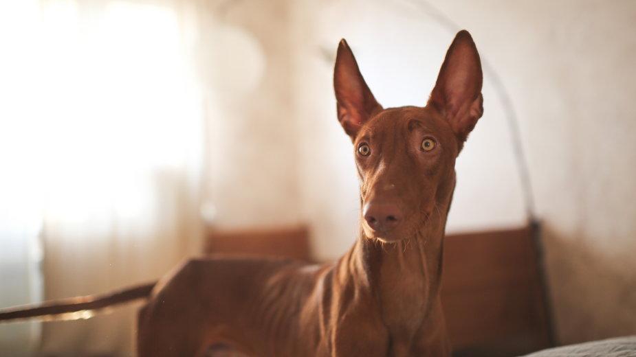 Pies Faraona ma niezależny charakter i nie zawsze jest posłuszny - natalialeb/stock.adobe.com