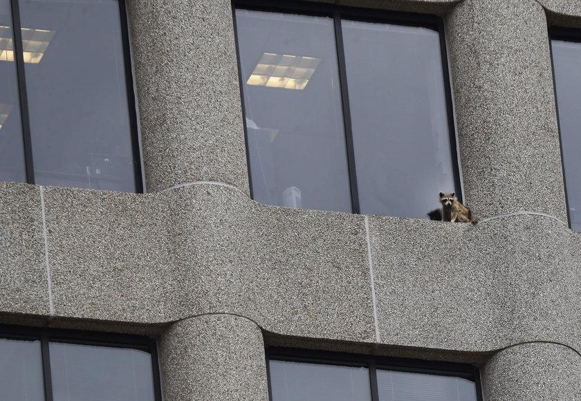 Szop wspiął się na budynek