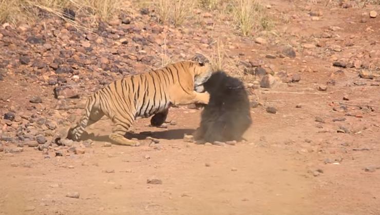 medvedica i tigar